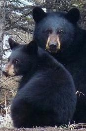 Black bear sow and cub, Tower / Roosevelt Area, Yellowstone National Park