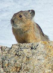 Pika, Paintbrush Canyon - Cascade Canyon Loop Trail, Grand Teton National Park