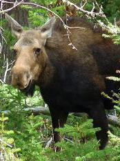 Moose, Tower / Roosevelt Area, Yellowstone National Park