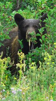 Black bear on the trail to Dawson  Pass, Glacier National Park