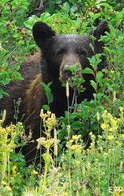 Black Bear, Iceberg Lake Trail, Glacier National Park