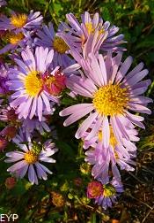 Wildflowers, Granite Park Chalet, Glacier National Park
