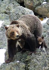 Grizzly bears, Grand Canyon of the Yellowstone, Yellowstone National Park