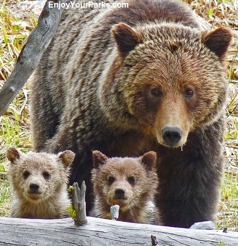 Grizzly sow and cubs, Yellowstone National Park