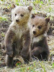 Grizzly bear cubs, Norris Junction Area, Yellowstone National Park