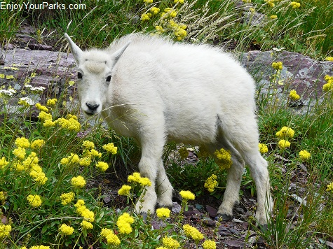 Mountain Goat Kid, Highline Trail, Glacier National Park