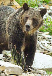 Grizzly Bear, Grinnell Glacier Trail, Glacier National Park