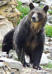 Grizzly Bear, Swiftcurrent Pass Trail, Glacier National Park