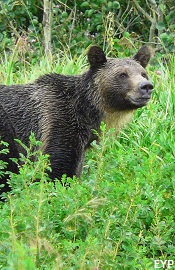 Grizzly bear, North Fork - Polebridge Area, Glacier National Park