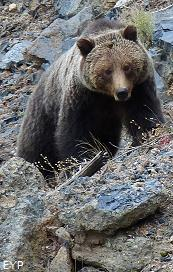 Grizzly bear, Mount Washburn - Dunraven Pass Area, Yellowstone National Park