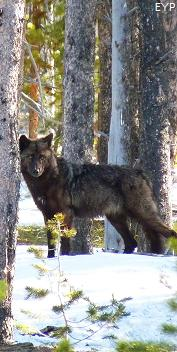Gray wolf, Mount Washburn - Dunraven Pass Area, Yellowstone National Park