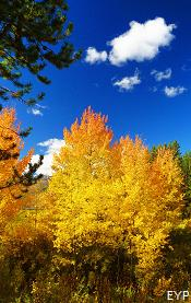 Fall aspens,Taggart Lake Trail, Grand Teton National Park