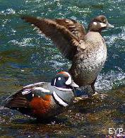 Harlequin Ducks, LeHardy Rapids, Yellowstone National Park
