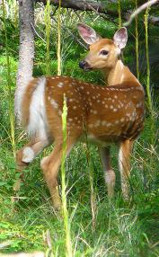 Whitetail Deer Fawn, Swiftcurrent Pass Trail, Glacier National Park