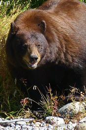 Black bear, Taggart Lake Trail, Grand Teton National Park