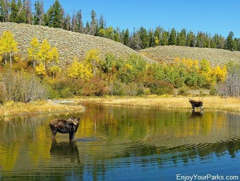 Moose - Wilson Road, Moose Junction, Grand Teton National Park