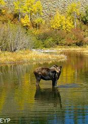 Cow moose, Moose - Wilson Road, Moose Junction, Grand Teton National Park