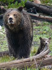 Grizzly bears, Mount Washburn - Dunraven Pass Area, Yellowstone National Park