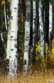 Aspen grove, Signal Mountain Area, Grand Teton National Park