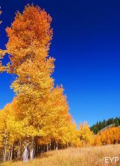 Fall Aspens, Jackson Lake Lodge, Grand Teton National Park
