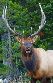 Bull elk, Taggart Lake Trail, Grand Teton National Park