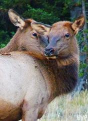 Cow and calf elk, Jenny Lake, Grand Teton National Park