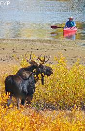 Bull moose, Oxbow Bend, Grand Teton National Park