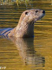 River Otter, Grand Teton National Park