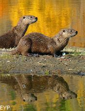 River Otters, Oxbow Bend, Grand Teton National Park