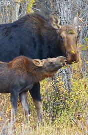 Moose cow and calf, Moose Junction, Grand Teton National Park