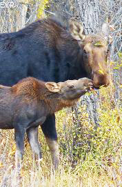 Moose cow and calf, Jackson Lake Lodge, Grand Teton National Park