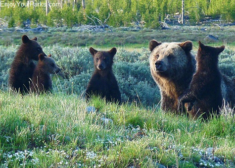 Grizzly Quadruplets, Yellowstone National Park