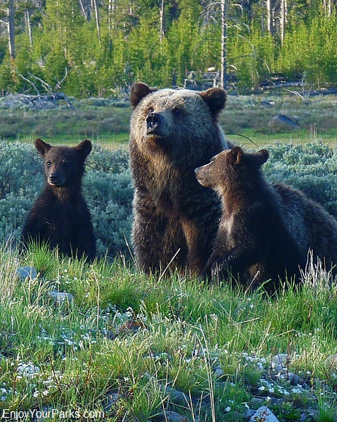 Grizzly Bears, Yellowstone National Park