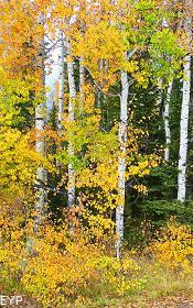 Fall Aspens, Moose Junction, Grand Teton National Park
