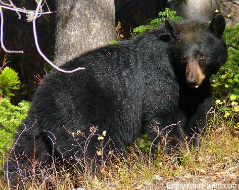 Black Bear, Jenny Lake, Grand Teton National Park