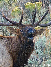 Bull Elk, Yellowstone National Park