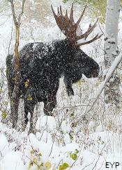 Bull Moose, Moose Junction, Grand Teton National Park