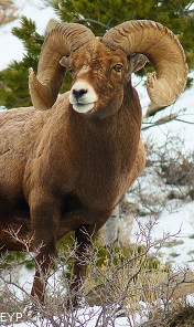 Bighorn Sheep, Yellowstone National Park