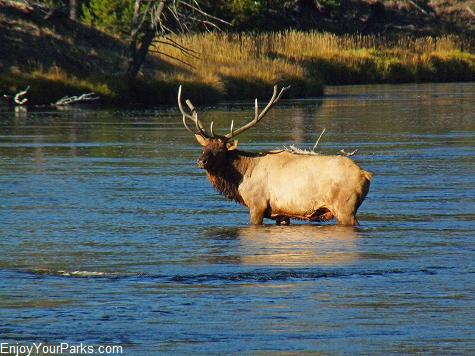 Bull elk, Madison River, Yellowstone National Park