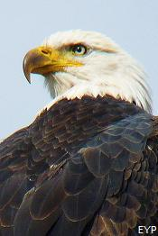 Bald Eagle, Oxbow Bend, Grand Teton National Park