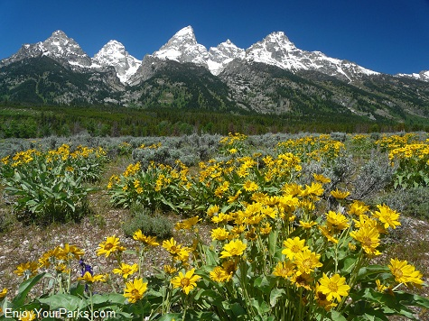 Wildfowers, Grand Teton National Park